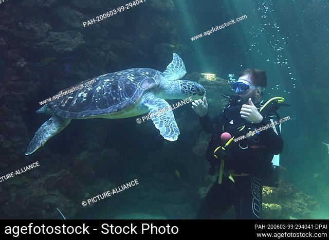 03 June 2020, Mecklenburg-Western Pomerania, Stralsund: A diver dives with a turtle in an aquarium at the Stralsund Marine Museum