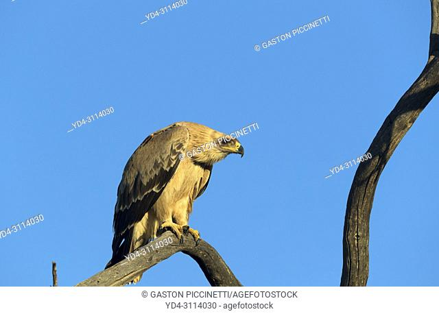 Tawny eagle (Aquila rapax) on the branch, is a large bird of prey. kgalagadi Transfrontier Park, Kalhari desert, South Africa/Botswana