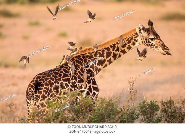 Girafe,Netzgiraffe,Giraffe,Giraffa camelopardalis reticulata,cub