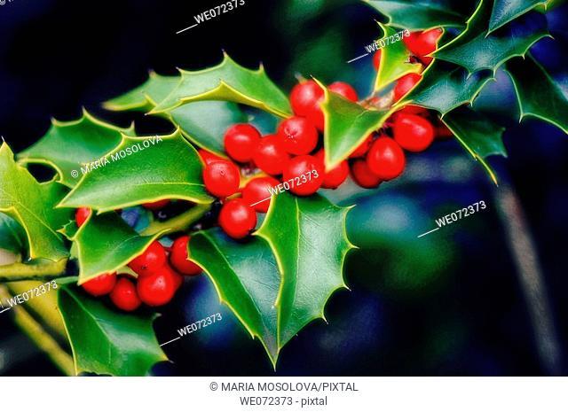 Holly. Ilex aquifolium. November 2006, Maryland, USA