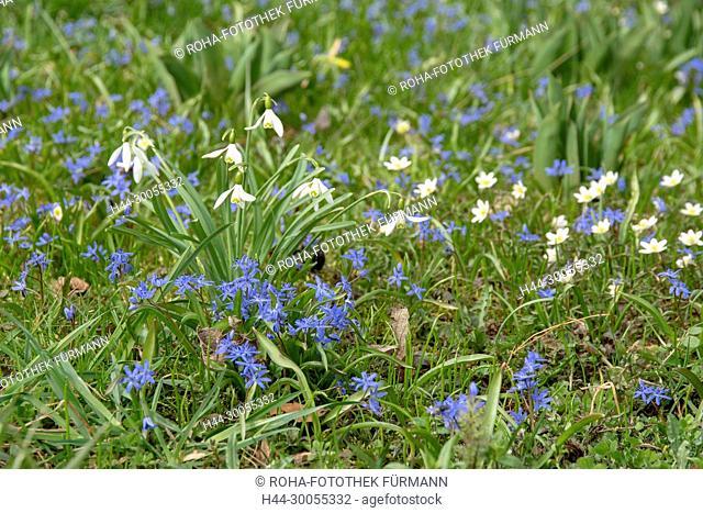 Bayern, Oberbayern, Blumenwiese, Wiese, Blumen, bluehend, blühend, Frühling, Fruehling, Fruehjahr, Frühjahr, Schneeglöckchen, Schneegloeckchen, Galanthus