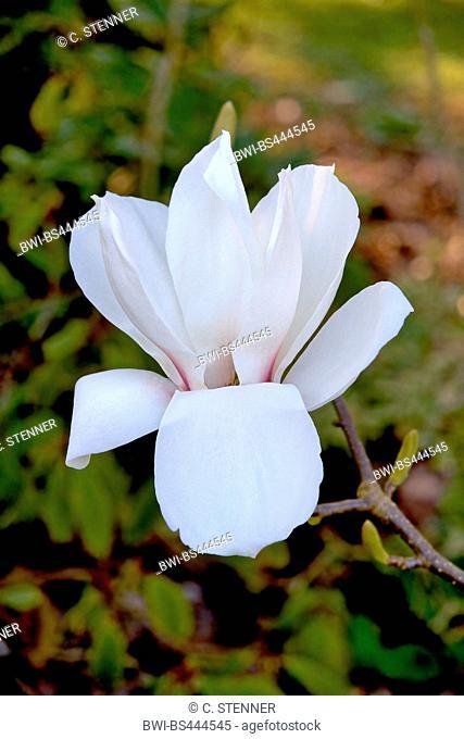 saucer magnolia (Magnolia x soulangiana, Magnolia soulangiana, Magnolia x soulangeana, Magnolia soulangeana), flower, Germany, North Rhine-Westphalia