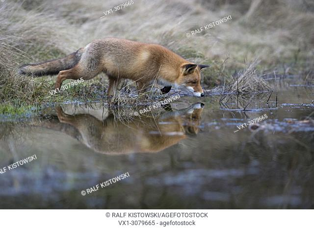 Red Fox ( Vulpes vulpes ) hunting at a body of water, in typical pose, high concentrated, mirroring on calm water surface, wildlife, Europe