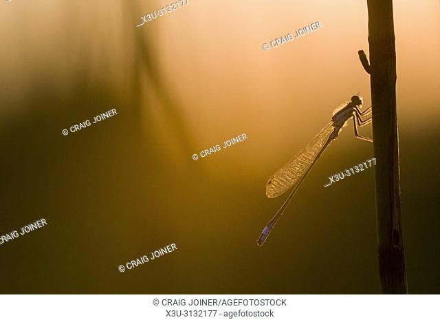 A Blue-tailed Damselfly (Ischnura elegans) on a reed in silhouette in the Mendip Hills, Somerset, England