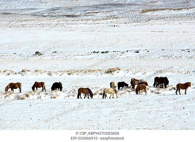 Herd of Icelandic horses in winter landscape