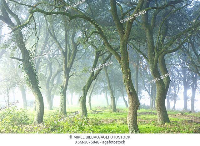 Oak grove. Iguzkiza village, Navarre, Spain, Europe