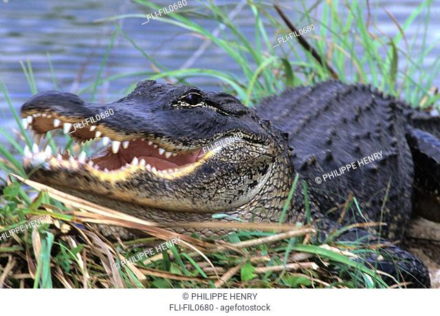 American Alligator, Fort Bend County, Texas