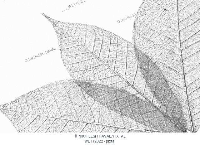 Skeletal leaves