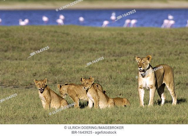 Lioness with cubs (Panthera leo), Lake Ndutu, Ngorongoro Crater, UNESCO World Heritage Site, Tanzania, Africa