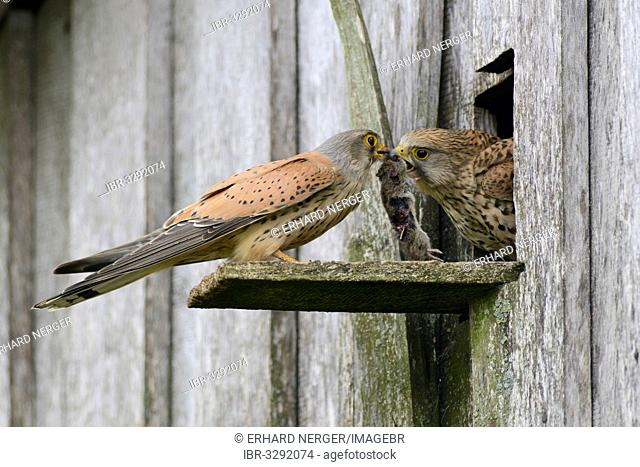 Kestrel (Falco tinnunculus), male passing prey to a female at the entrance of a nest
