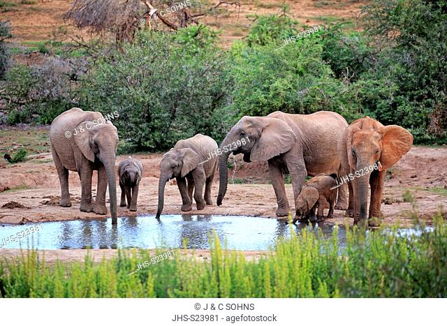 African Elephant, (Loxodonta africana), adult and youngs, Addo Elephant Nationalpark, Eastern Cape, South Africa, Africa