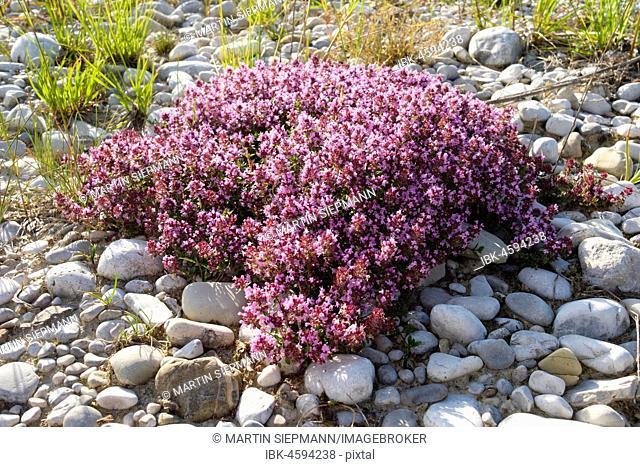 Flowering Thymus serpyllum (Thymus serpyllum) on gravel bank, Isarauen Nature Reserve, Geretsried, Upper Bavaria, Bavaria, Germany