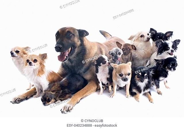 purebred belgian sheepdog malinois and chihuahuas on a white background