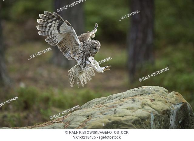 Tawny Owl / Waldkauz ( Strix aluco ) in flight, flying, landing on a rock, wide open wings, stretched wings, side view, angel-like pose