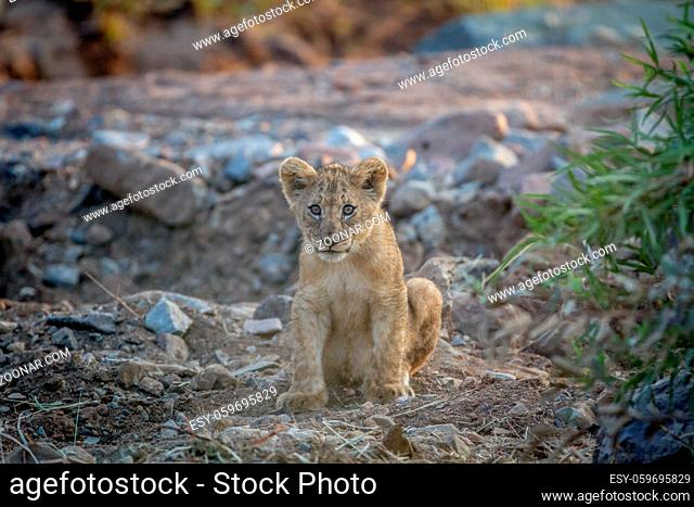 Lion cub sitting in a dry riverbed in the Pilanesberg National Park, South Africa