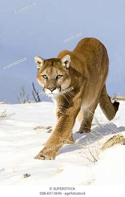 Mountain lion Puma concolor walking in a snow covered field