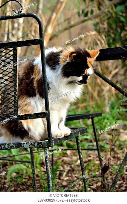 Female calico cat in old over-grown garden, sitting on wrought iron outdoor furniture