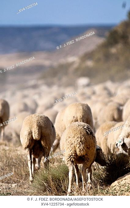 Seasonal migration of livestock in Bardenas Reales de Navarra  Navarre  Spain  Europe