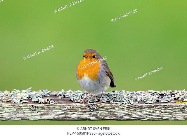 European robin (Erithacus rubecula) perched on wooden weather-beaten fence