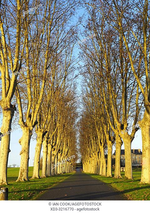 Plane trees, Platanus, beside a driveway near Virazeil, Lot-et-Garonne Department, Nouvelle Aquitaine, France