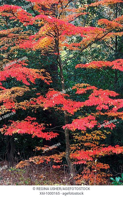 Table Dogwood Cornus controversa, tree in park showing autumn colour, Germany, origin Japan, China, Himalaya