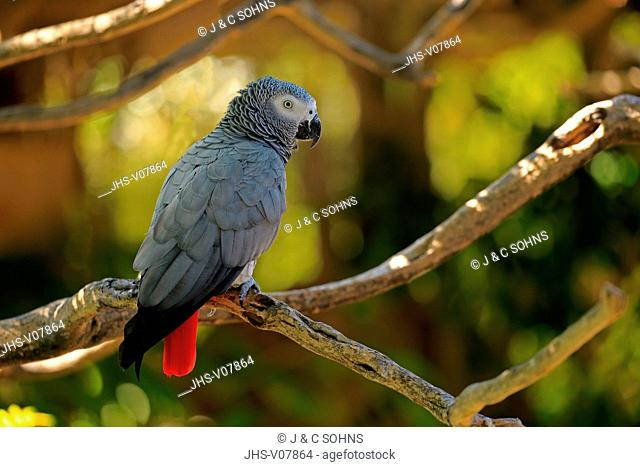Grey Parrot, (Psittacus erithacus timneh), adult on tree, Africa