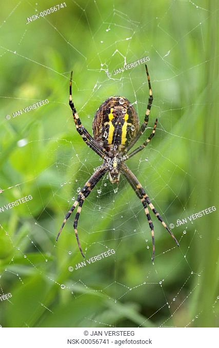 Close up of the underside of one female Wasp Spider (Argiope bruennichi) waiting on a web in a meadow, the Netherlands, Gelderland, Fikkersdries