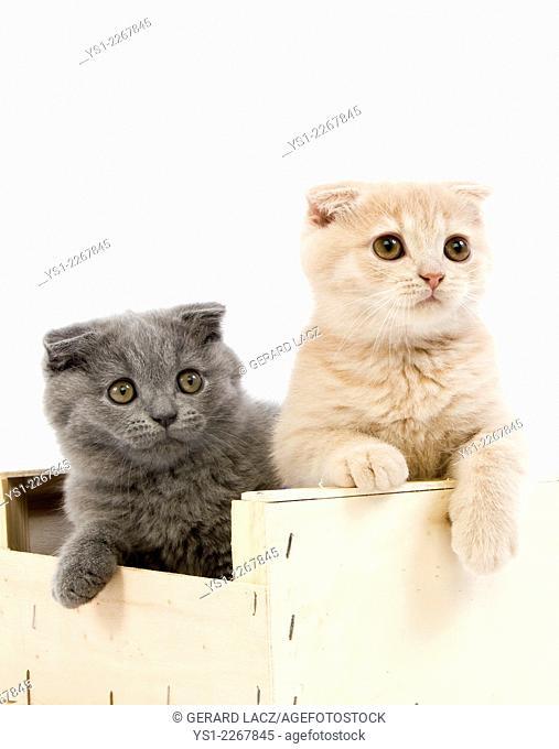 Blue Scottish Fold Domestic Cat, Cream Scottish Fold, Black Tortoise-Shell British Shorthair and Black British Shorthair, 2 Months Old Kittens