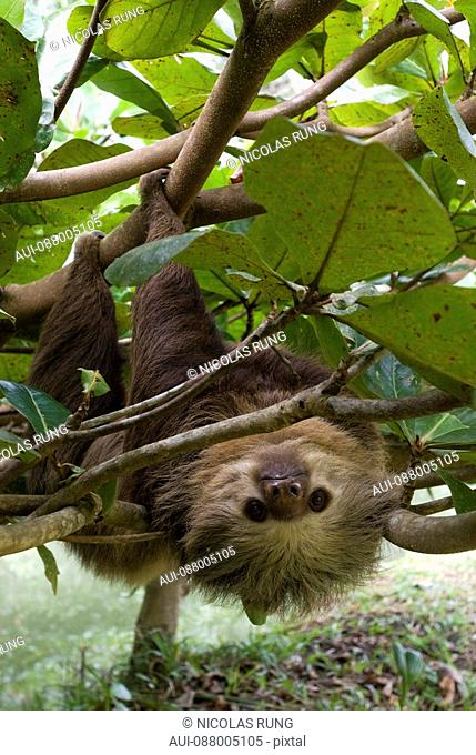 Two-toed sloth - Cahuita