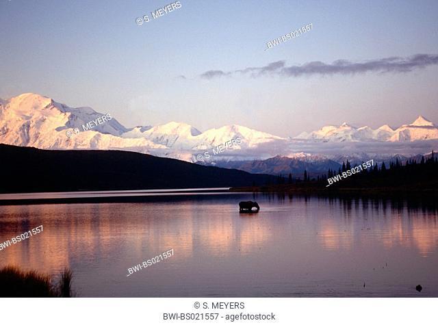 Alaska moose, Tundra moose, Yukon moose (Alces alces gigas, Alces gigas), cow in a scenic lake, USA, Alaska, Denali Nationalpark