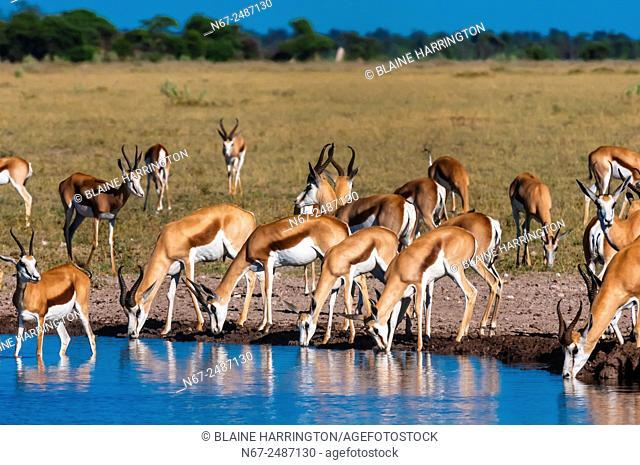 Springbok at a watering hole, Nxai Pan National Park, Botswana