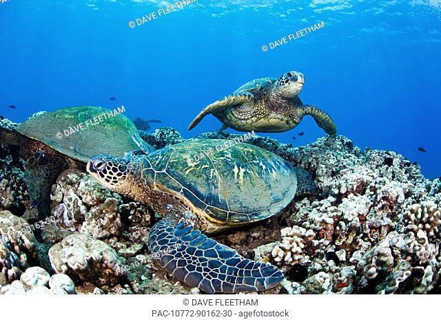 Hawaii, Green Sea Turtles Honu Chelonia mydas on ocean reef