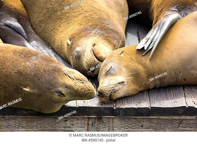 California sea lions (Zalophus californianus) sleeping on wooden jetty, Pier 39, San Francisco, California, USA