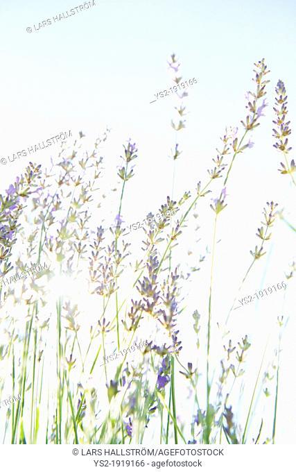 Blooming lavender flowers in organic herbal garden