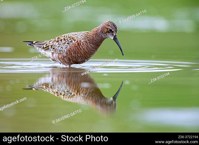 Curlew Sandpiper (Calidris ferruginea), side view of an adult moulting to breeding plumage, Campania, Italy