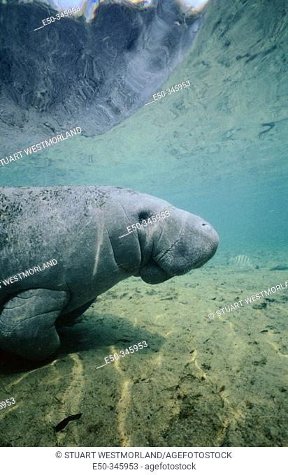 West Indian Manatee (Trichechus Manatus).Crystal river. Florida. USA