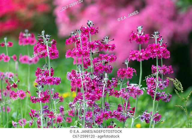 Bee's primrose;Primula; herbaceous;semi-evergreen; perennials;rosette;Primulaceae;whorls; yellow-eyed, purple flowers;