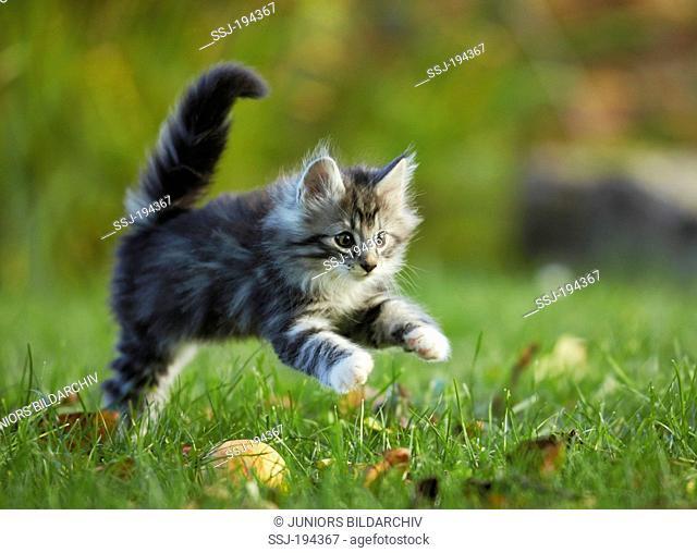 Norwegian Forest Cat. Tabby kitten running on grass. Germany