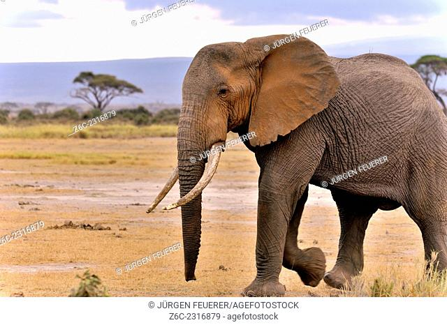 Impressive big single elephant, Loxodonta africana, in the National Park of Amboseli, Kenya