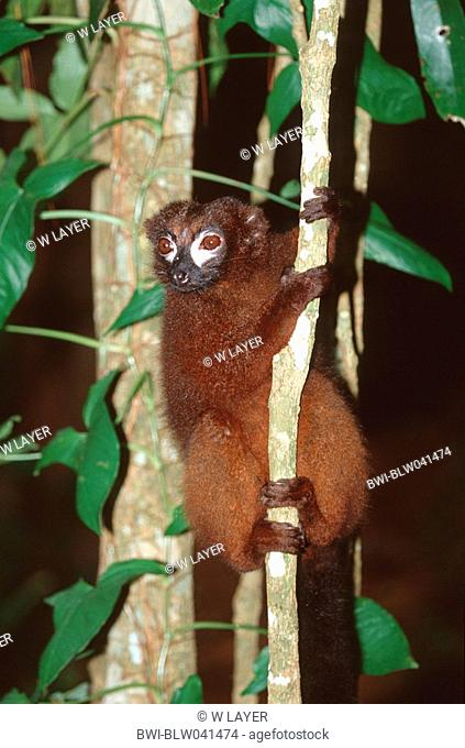 red-bellied lemur Eulemur rubriventer, holding on to tree trunk, Madagascar
