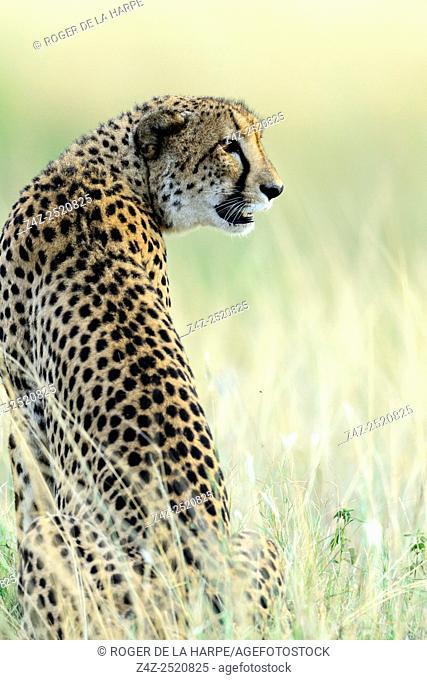 Cheetah (Acinonyx jubatus). Phinda / Munyawana / Zuka Game Reserve. KwaZulu Natal. South Africa