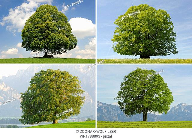 single big beech, linden and oak trees