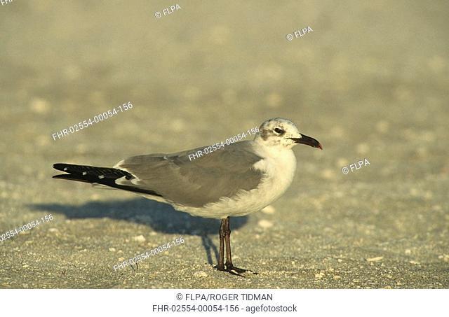 Laughing Gull Larus atricilla adult on beach, winter