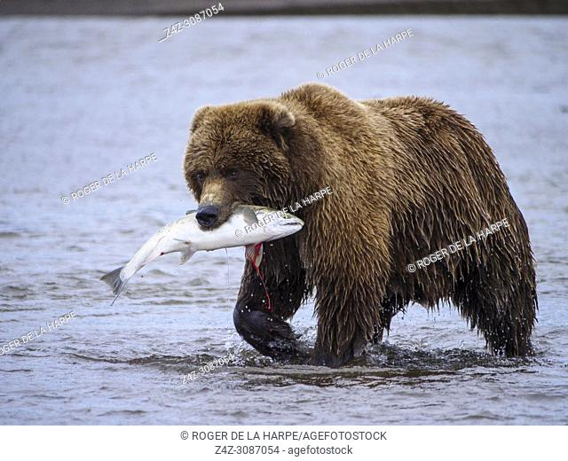 Coastal brown bear, also known as Grizzly Bear (Ursus Arctos) with a silver salmon or coho salmon (Oncorhynchus kisutch) it has caught. Cook Inlet