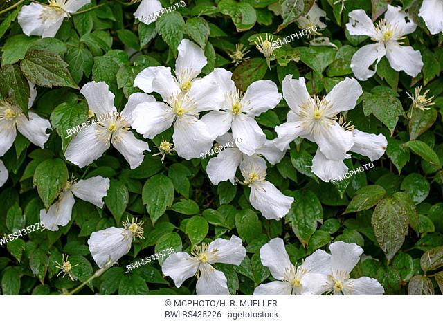 clematis, virgins-bower (Clematis montana var. grandiflora), blooming, United Kingdom