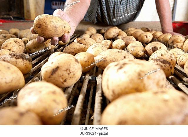 Close up of farmer holding potato above conveyor belt