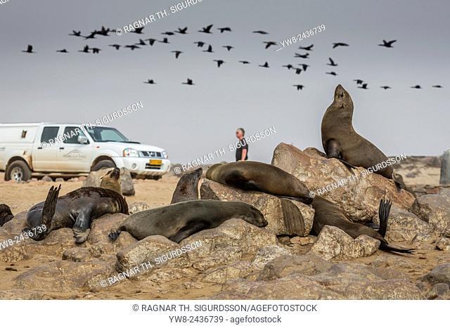 Cape Fur seals (Arctocephalus pusillus), Cape Cross, Skeleton Coast, Kaokoland or the Kunene Region, Namibia, Africa