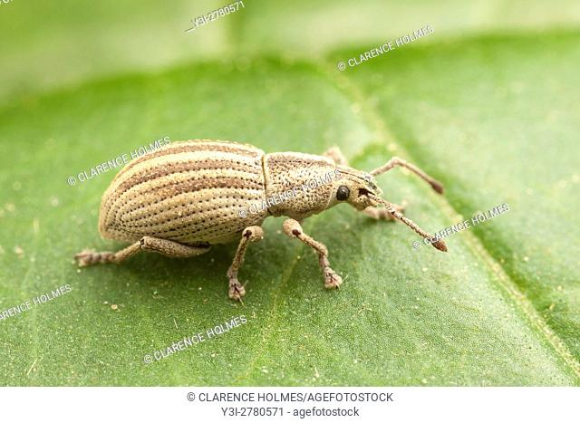 A Broad-nosed Weevil (Aphrastus taeniatus) perches on a leaf