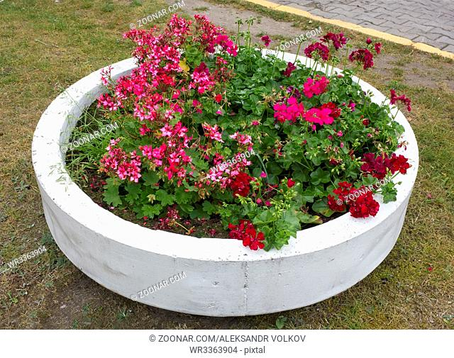 The street flowerpot for geraniums is made of a concrete ring and is painted with white paint