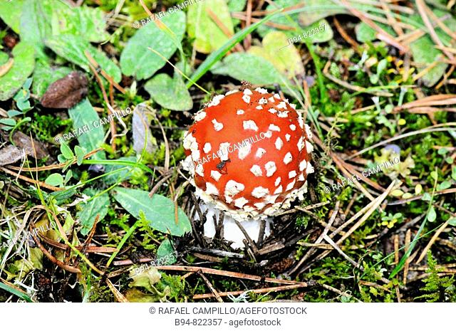 Fly agaric (Amanita muscaria). Osseja, Languedoc-Roussillon, Pyrenees Orientales, France